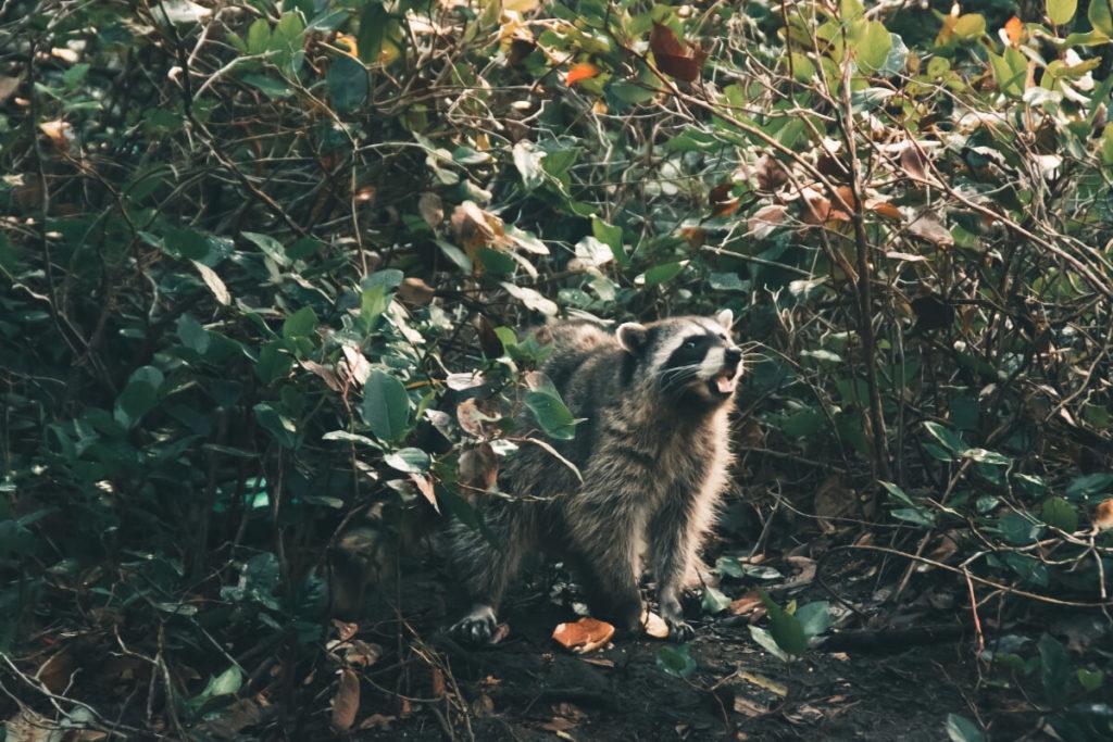 Racoon in Woods